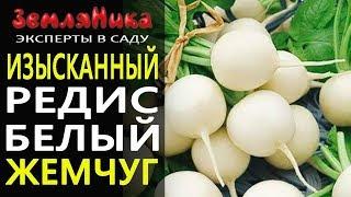 Очень вкусный Редис Белый Жемчуг. Редиска от агрофирмы Поиск. Купить семена редиса.