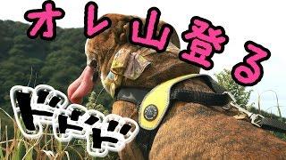 2016年9月25日 新潟県角田山に実家のパピヨンのなびちゃん連れて登って...