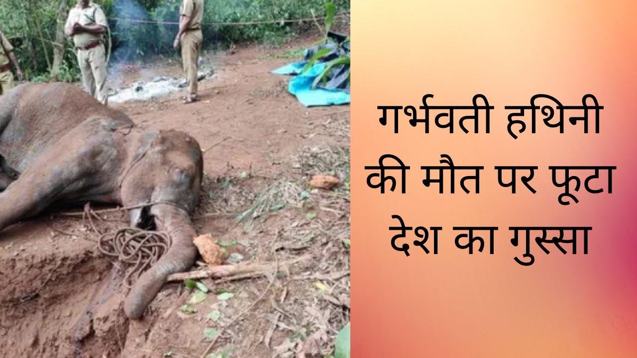 गर्भवती हथिनी की मौत पर फूटा देश का गुस्सा  kerala elephant case   kerala elephant died   pineapple