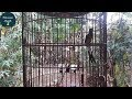 Kicau Murai Hutan Bikin Emosi Murai Lain Bila Mendengarnya Ngebren(.mp3 .mp4) Mp3 - Mp4 Download