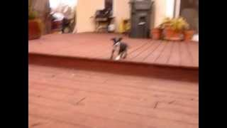 Apple: Boston Terrier Border Collie Mix For Adoption
