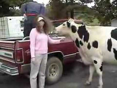 Can I Milk My Pet Cow If She's Not a Holstein?