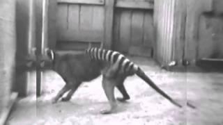 Tigre-da-Tasmânia (Um Raro Vídeo de 1933)