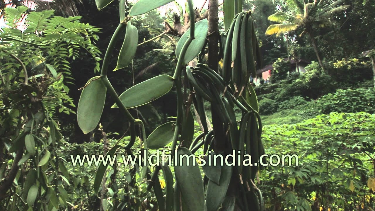 Vanilla Pods On The Orchid In Kerala India Youtube