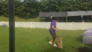Pepper Jumpers 12 20 2014 Cairn Terrier Agility