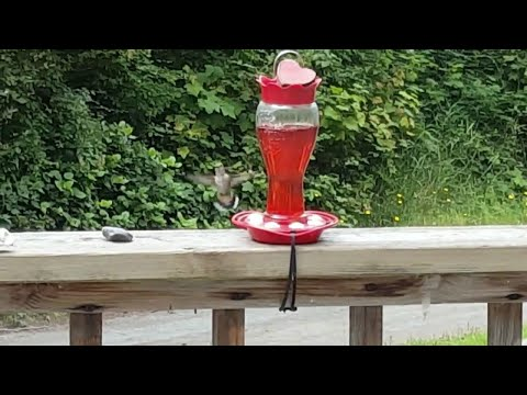 More Slow-Motion Hummingbird Action On Lopez Island In Washington!!!! By: Ryan Wehner