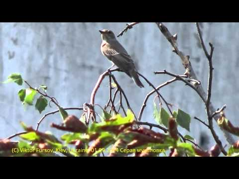 Птицы Украины: Се́рая мухоло́вка Muscicapa striata в Центре Киева, 01.09.2014