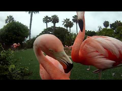 Pink Flamingo Attacking Camera at the San Diego Zoo