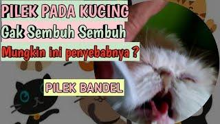 PILEK PADA KUCING | Kucing ingusan dan batuk pilek