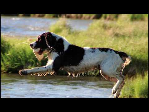 Breed Profile: The English Springer Spaniel
