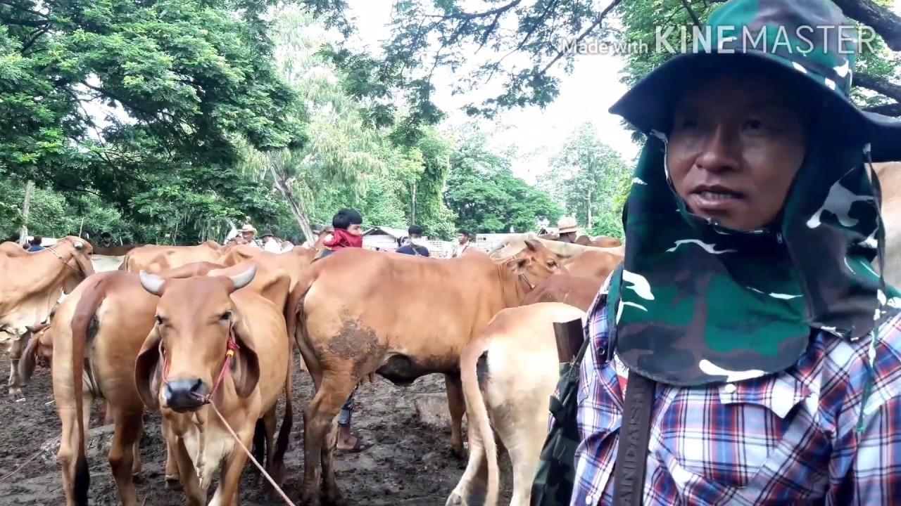 Ep683:ราคาวัววันนี้4ก.ค.63(แม่ลูกสวยๆ):ตลาดวัวร้อยเอ็ด:เปิดทุกวันเสาร์