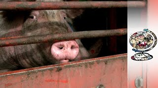 Video The Monopoly Putting Pig Farmers Out Of Buisness download MP3, 3GP, MP4, WEBM, AVI, FLV Agustus 2017