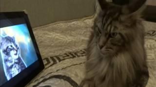 Реакция кошки на клип Space Cats (Мейн Кун)