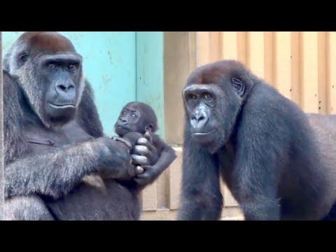 色々な工夫で弟への接触を試みる兄⭐️ゴリラ-gorilla【京都市動物園】gentaro-tried-to-touch-his-brother-in-various-way.