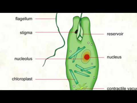 euglena cell diagram with labels dyna 2000i ignition wiring project mr leduc s class 2016 youtube