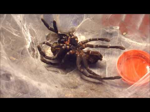 Cyriopagopus minax molting in time-lapse