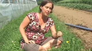 Plante médicinale: Pissenlit (Taraxacum officinale)
