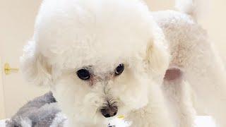 주인 약올리는데 재미들린 귀여운 강아지 ㅋㅋㅋ(눈빛보소~)