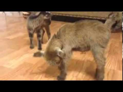 Cute baby pygmy goat plays with dogs. - YouTube |Baby Goats Playing Youtube