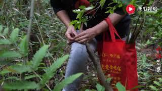 邻家媳妇进大山里摘竹笋,不到一小时收获几十斤,看把她高兴的!