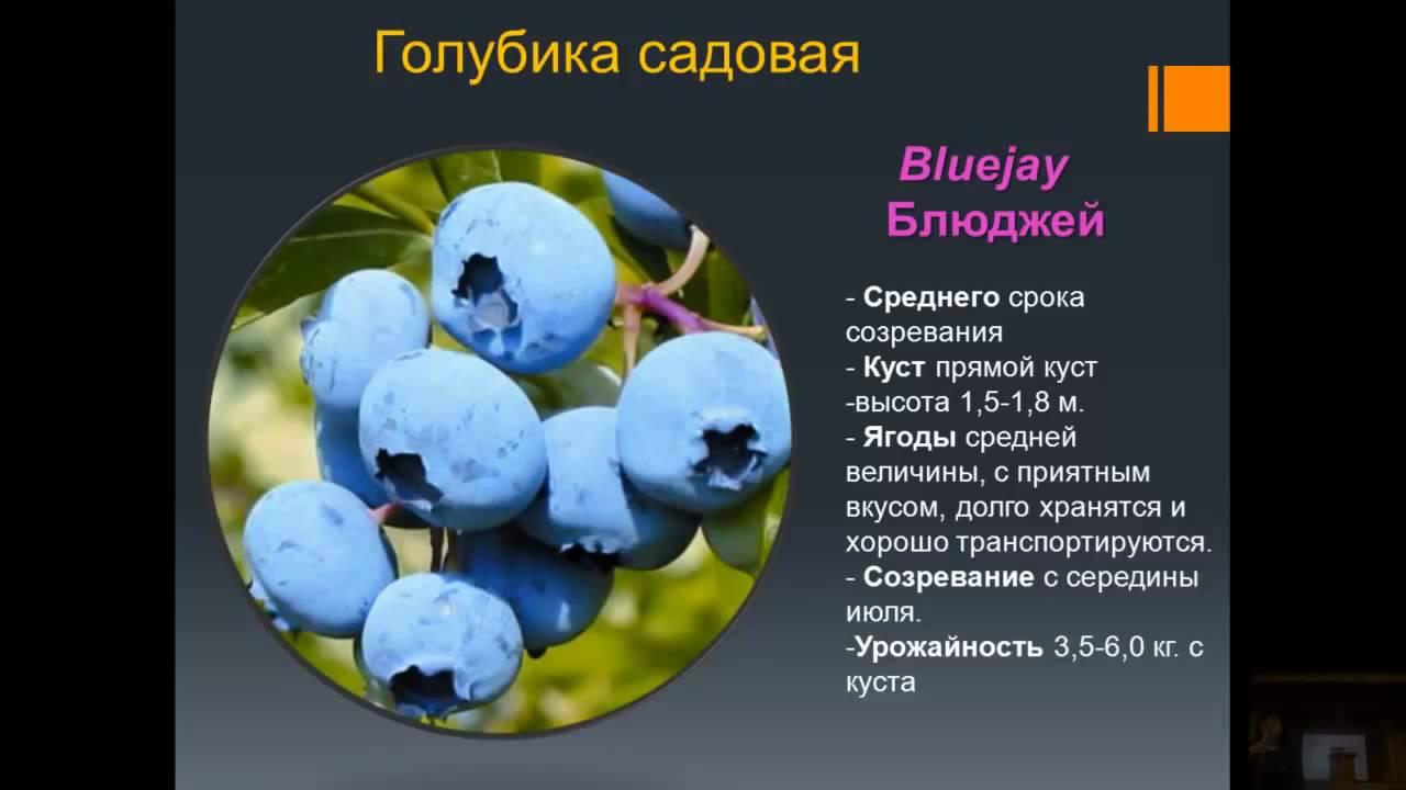 схема посадки голубики высокорослой