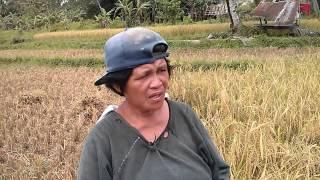 antequera bohol rice harvest