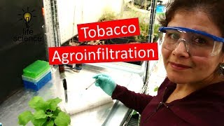 Tobacco Agroinfiltration Transient Transformation
