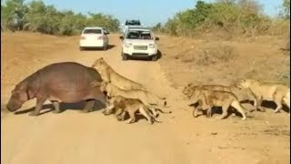 top-5-best-hippo-sightings-compilation