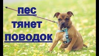 Собака тянет поводок? пес тянет на прогулке:? как отучить его? как научить ходить рядом