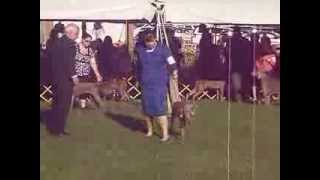 Weimaraner Best Of Breed Monroe Kennel Club Saturday 9 28 2013