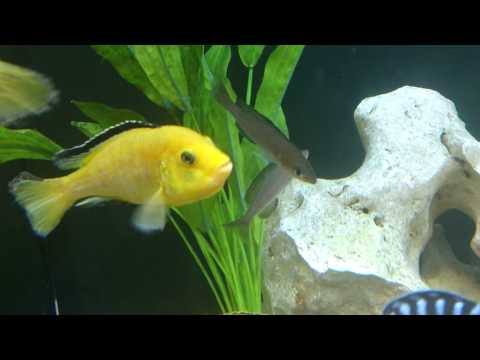 About Mouth Brooding African Cichlids