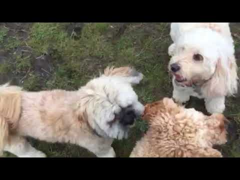 Day in the life of a Dog Walker in Blackpool - 2 Cavachons, a Lhasaapso & a Cavapoo playing chase