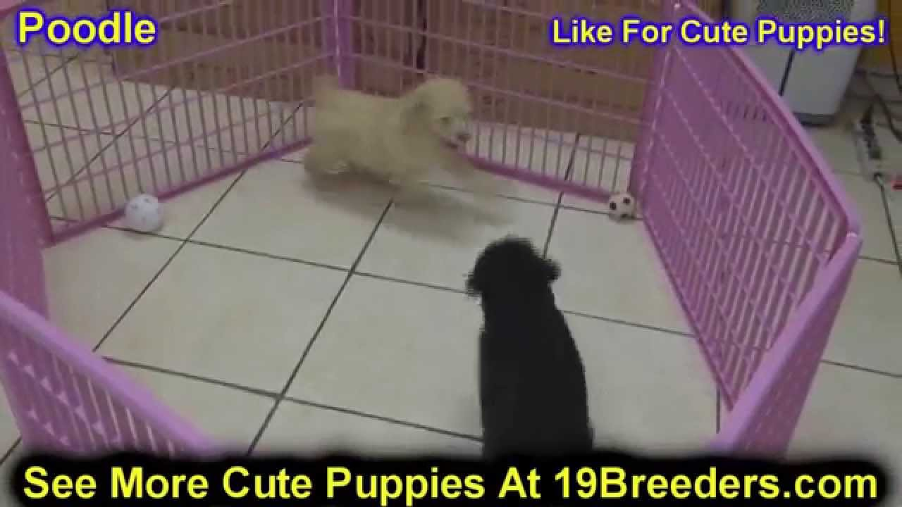 Standard Poodle, Puppies, Dogs, For Sale, In Louisville ...