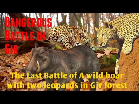 जंगली सूअर और दो तेंदुओं की अंतिम लड़ाई । Last Battle Of A Wild Boar With Two Leopards