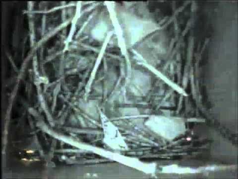Watch a bird build a nest inside a birdhouse with Hawk Eye Nature Camera