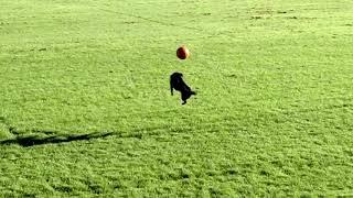 Best Patterdale dog trick @.13 sec