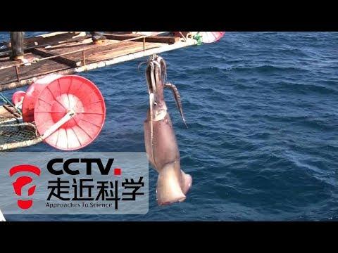 《走近科学》 远征捕鱿记:全球最大的鱿鱼生态捕捞规模 20190520 | CCTV走近科学官方频道