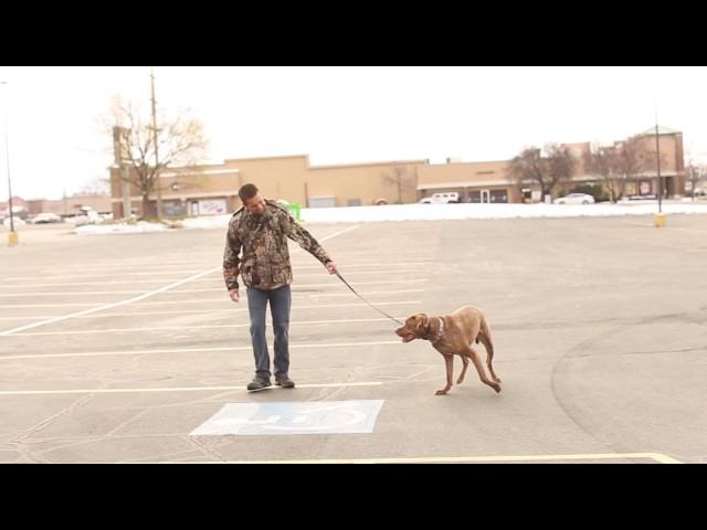 TYD60 Moment- How to Train a Dog to Walk on a Loose Leash- Utah Dog Trainers
