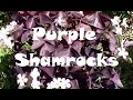 Purple Shamrocks, Oxalis triangularis. How to Repot, Rejuvenate, and Grow Them.