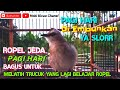 Trucukan Gacor Ropel Jeda Pagi Hari Sangat Bagus Untuk Melatih Trucuk Malas Ropel  Mp3 - Mp4 Download