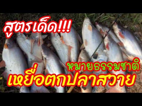 เหยื่อตกปลาสวายหมายธรรมชาติสูตรเด็ด ไม่มีแห้วแน่นอน