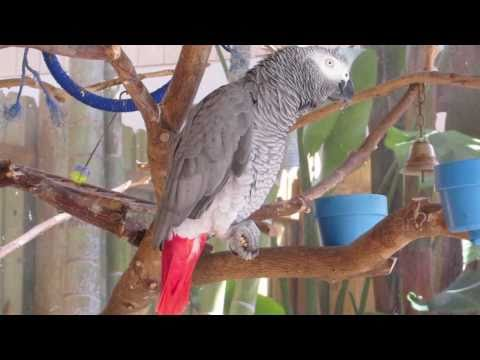 "African grey parrot ""Audio"" talking mix"