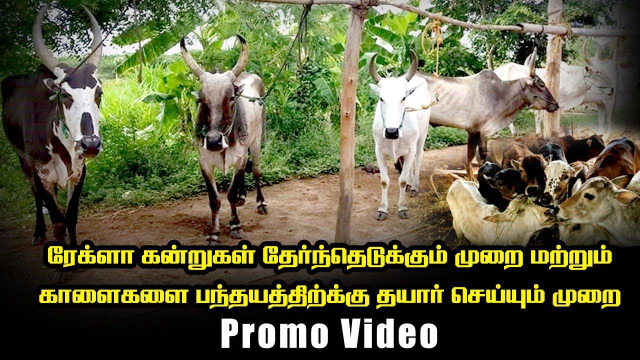 ரேக்ளா கன்றுகள்  எவ்வாறு தேர்ந்தெடுப்பது   பந்தயத்திற்கு காளைகளை எப்படி தயார் செய்வது Promo Video