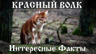 Красный волк - интересные факты