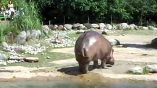 Hippo Butt Explosion!!