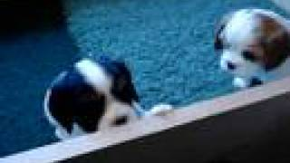 Young Cavalier King Charles Spaniel Puppies