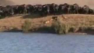 Instinto materno  mãe búfalo salva filhote de leões
