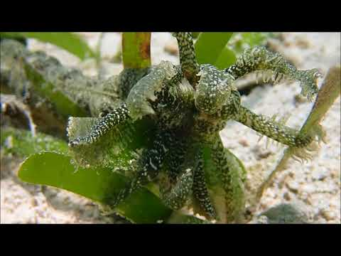 Sea Cucumber Grazing