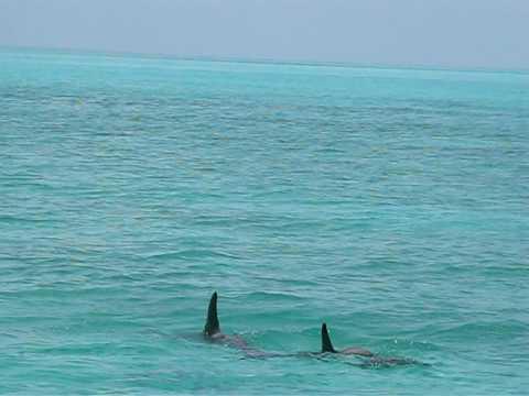 2009 Treasure Cay Island Adventure Mother Dolphin & Her Calf