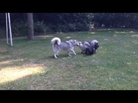 The Alaskan Malamute, the Keeshond and the Staffordshire Bull Terrier.